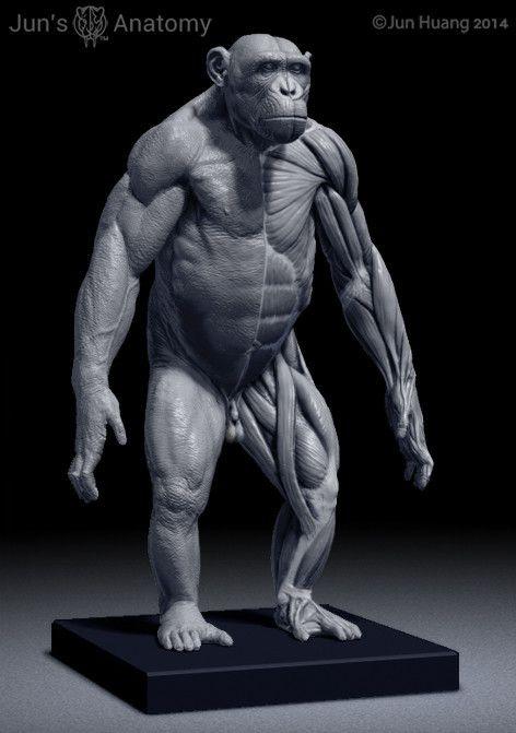 Chimpanzee Anatomy Model 1/6th scale | Zbrush#3d#Digital#Scultpure ...
