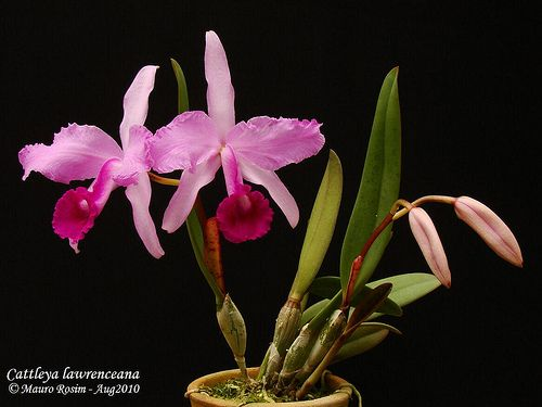 Cattleya lawrenceana (Venezuela, Guiana, Norte do Brasil)