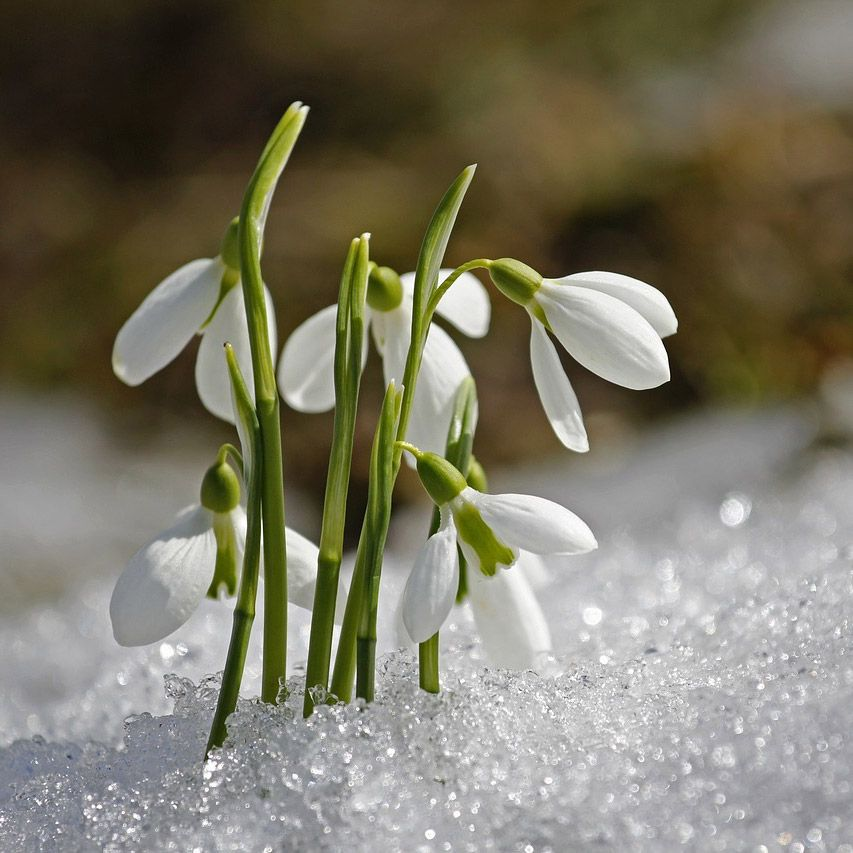 Galanthus Snow Drop With Images Birth Month Flowers Birth Flowers January Birth Flowers