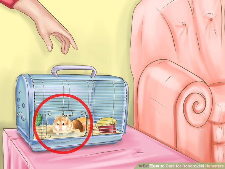 Care For Roborovski Hamsters Roborovski Hamster Hamster Care