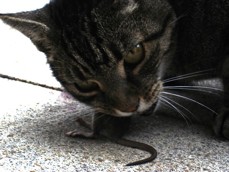 Cat Eating Rat Animals Eating Animals Cats Eating Rats