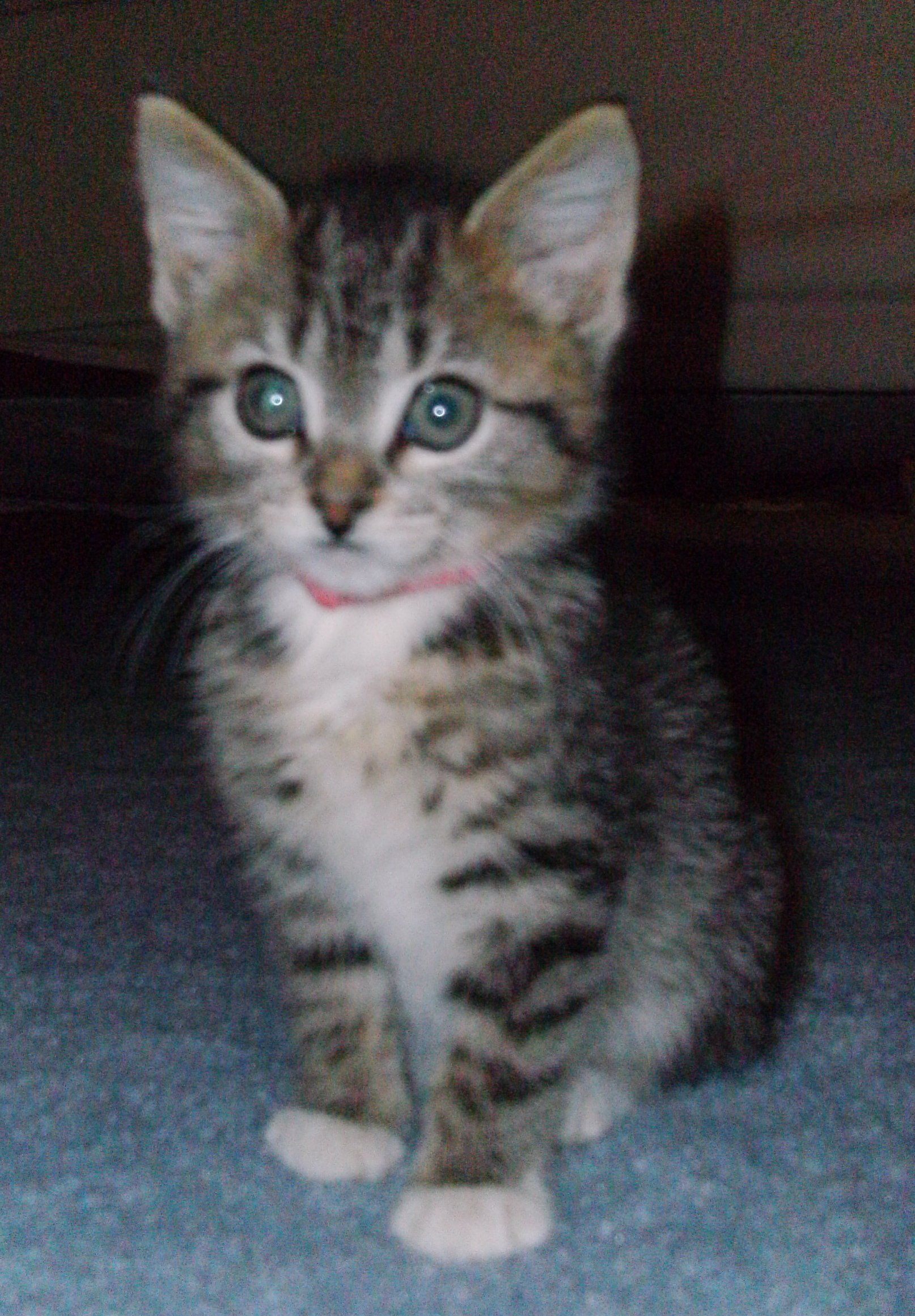 ADOPTED 5/12Remember me? I'm Davy. One of the kittens