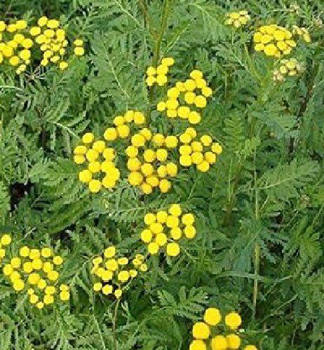 HEIRLOOM NON GMO Tansy 175 seeds (Medicinal)   Wish list 2