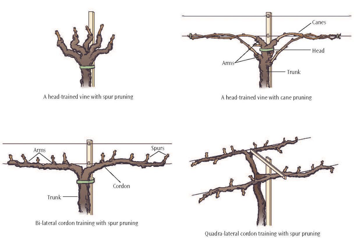 Pruning grapes google search grapes pinterest growing grapes garden landscaping and gardens - How to prune and train the grapevine ...