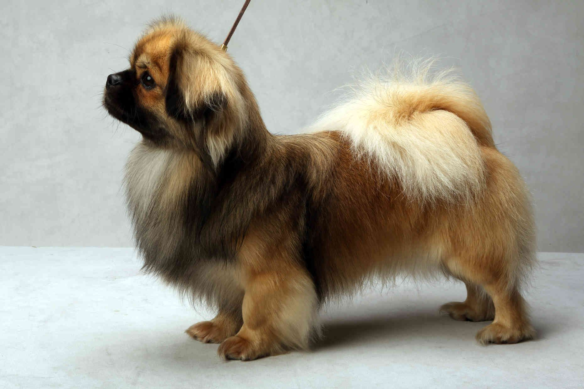 Westminster S Best Of Breed Westminster Dog Show Tibetan Spaniel Pet Breeds