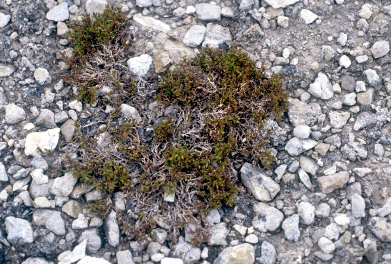 Arctic plants have shallow roots that sit above the frozen