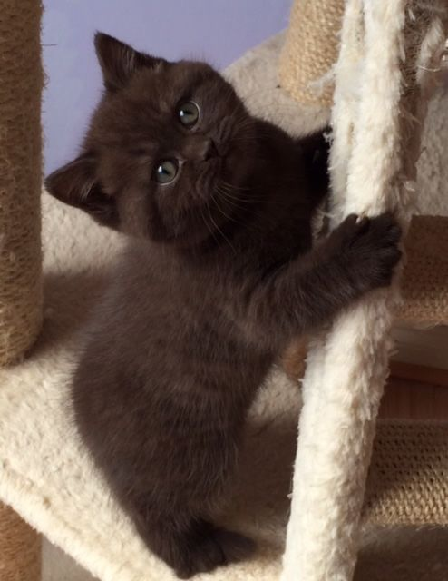 The Nursery Pretty Cats Cute Cats And Kittens British Shorthair Cats