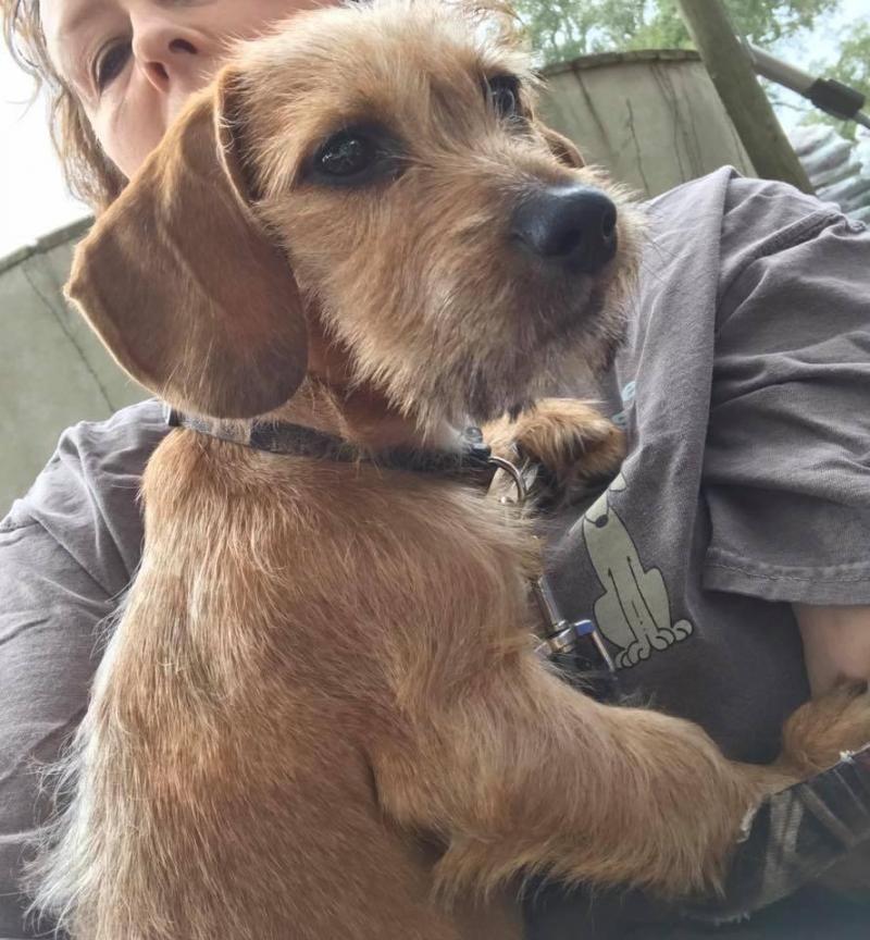 Adopt Jade On Wire Haired Dachshund Dog Lovers Dachshund
