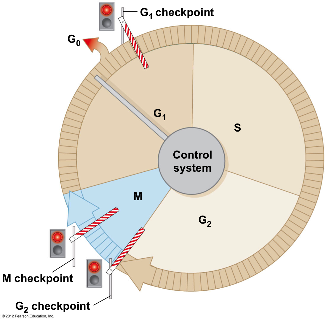 Cell Cycle Diagram With Checkpoints Blank