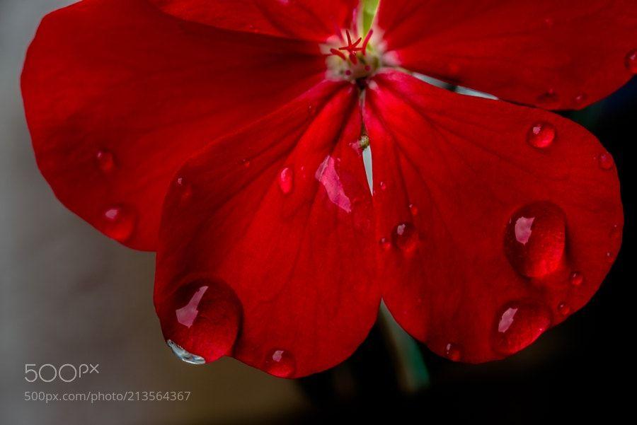 Rainy Day IV - Wet geranium in Osaka Japan