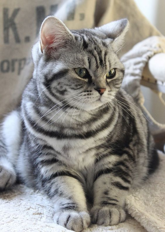 Lovely Silver Tabby American Shorthair Cat Cute Cats Cat Breeds