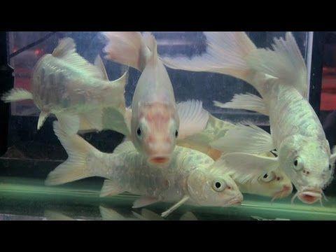 Milk white koi carp aquarium fish youtube homedecor for Koi fish aquarium