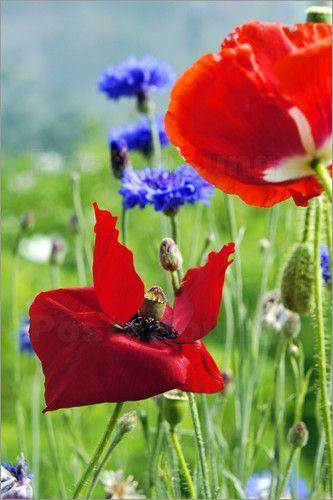 Mohn Und Kornblumen Bilder Poster Von Emotion Art Bei Posterlounge De Mohn Blumen Mohnblume