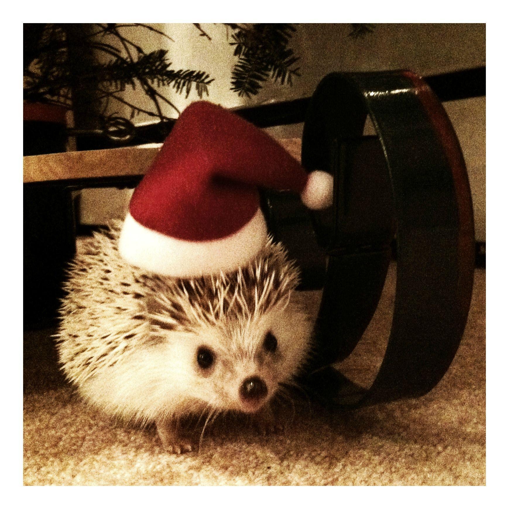 Santa Hedgie Fluffy Animals Hedgehog Pet Cute Hedgehog