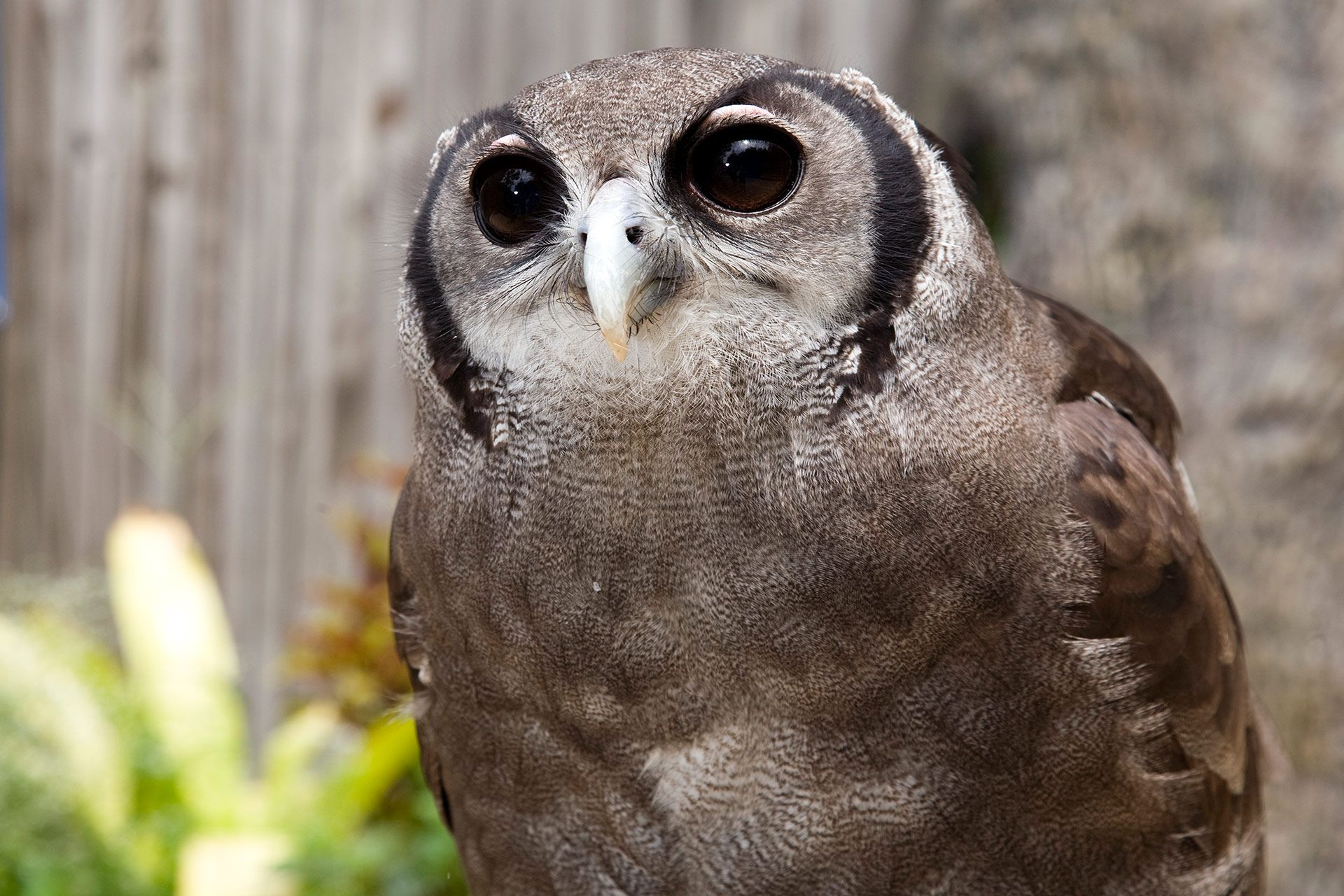 This Is One Of The Larger Owls In The World And They Prey On Virtually Any Small To Medium Sized Animal They Generally Hunt At Night Owl Owl Zoo Atlanta Zoo