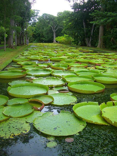 Lily Pads At Pamplemousses Botanical Garden In 2020