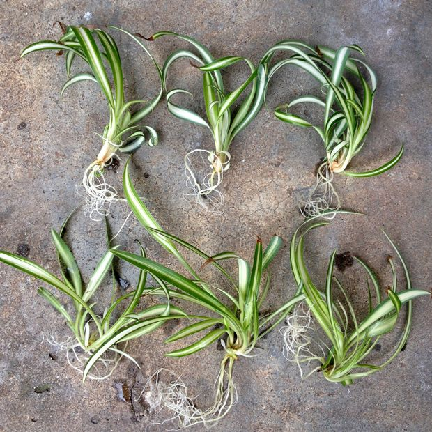 Growing Spider Plants Indoors: I'm Giving Away Some Spider Plants For Free. Click Through
