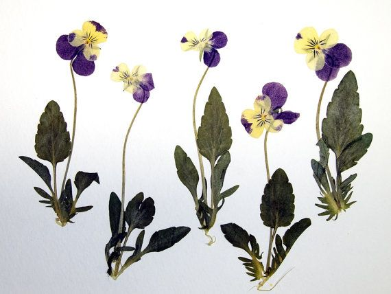 Purple And Yellow Pansy With Stem And Leaves Real Dried And Pressed Flowers 5 Flowers