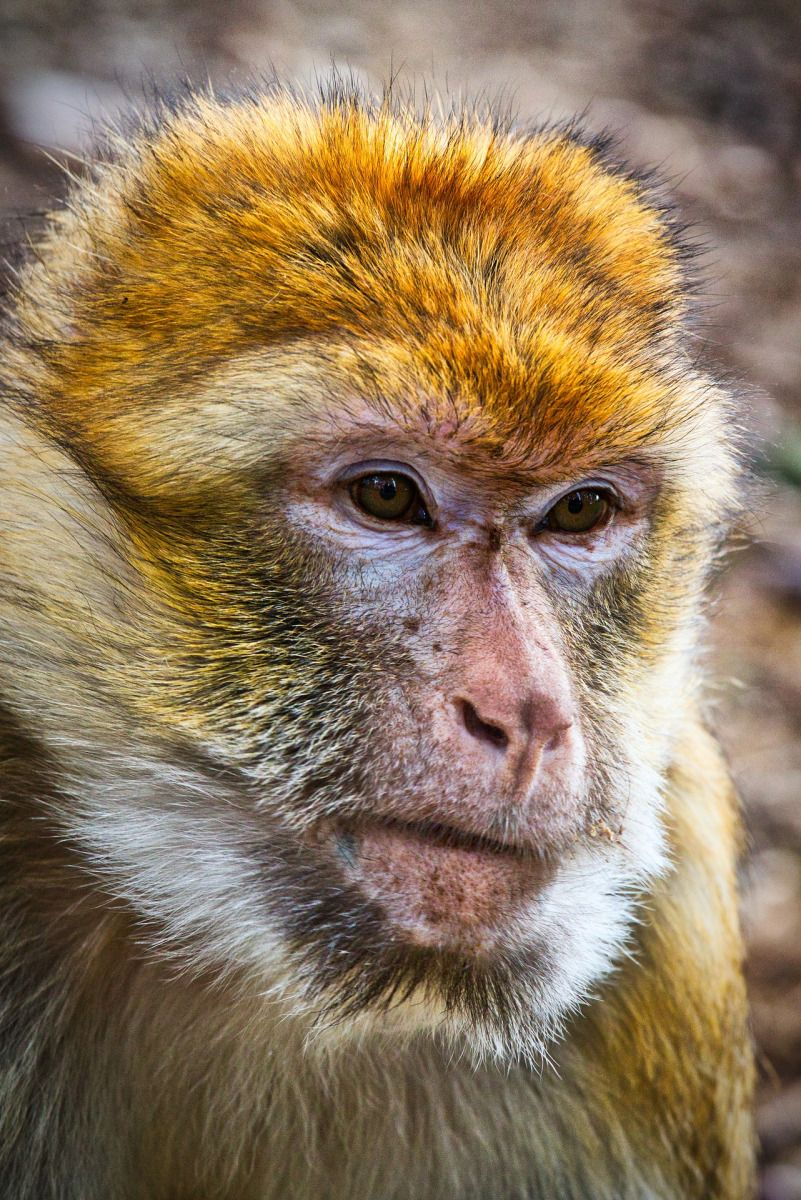 Free Ape Sex Videos inspiration call: symbolic animal thursday   animals, monkey