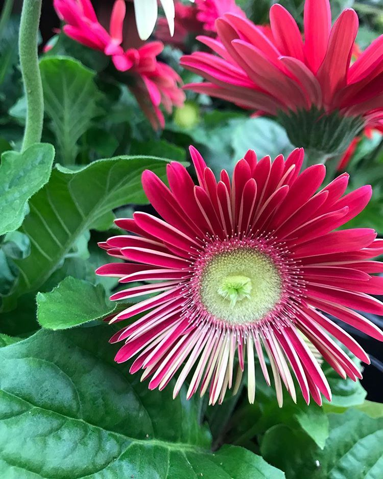 Gerbera Daisies Beautiful And Weird In The Best Ways Possible