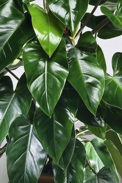 Good News These 30 Indoor Plants Are Almost Impossible To Kill Indoor Plants Low Light Large Leaf Plants Plants Grown In Water