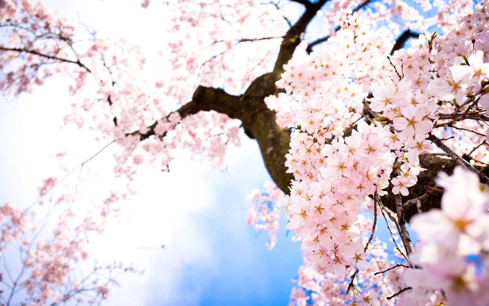 Arbol De Cerezo Japones Árboles cerezos anime - imagui | flor de cerezo, sakura