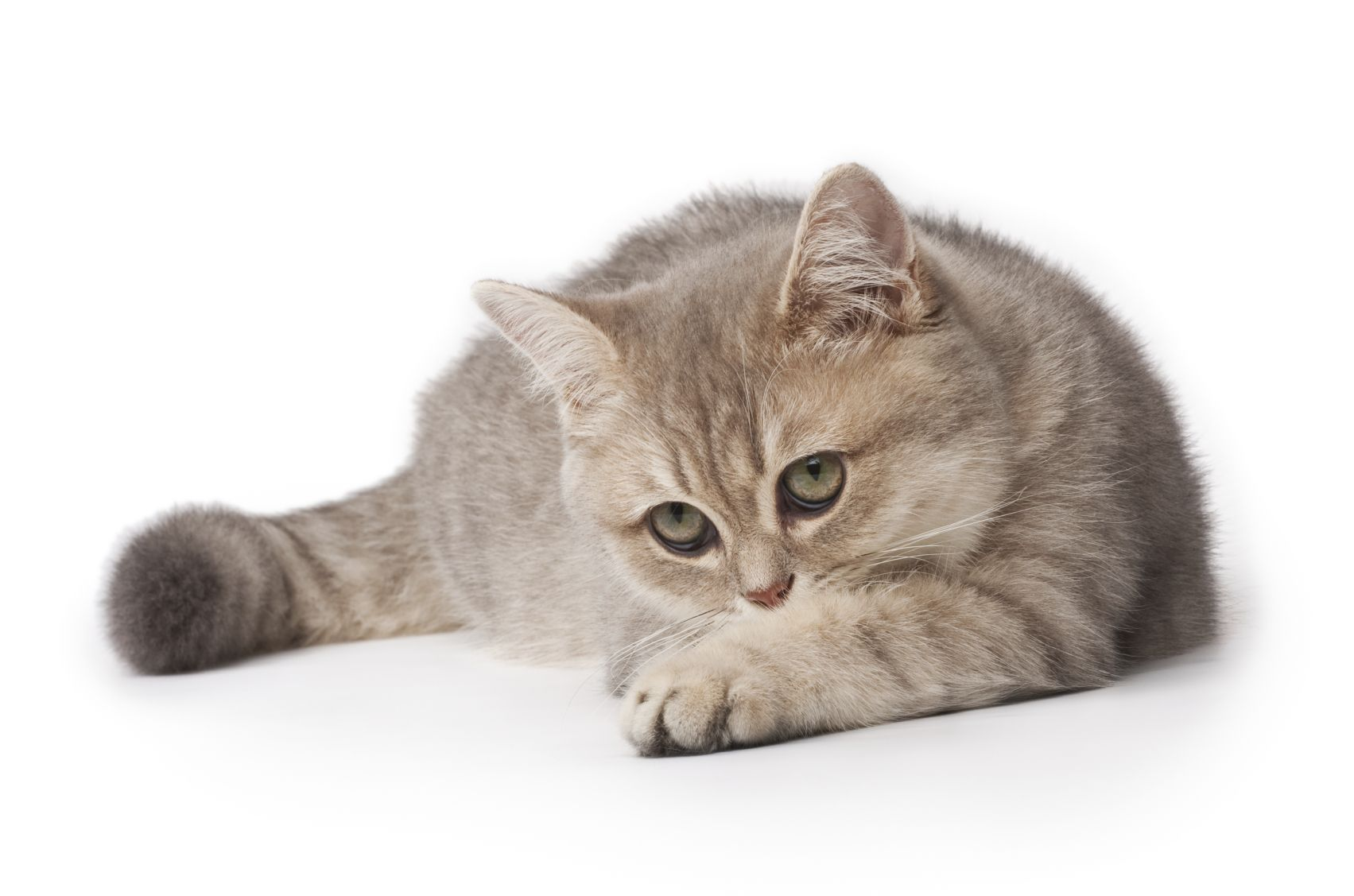 Cats With Feline Hyperesthesia Syndrome Have Bouts Of Skin Twitches As If They Are Uncomfortable Often This Leads To Vocal Animal Companions Feline Pet Care