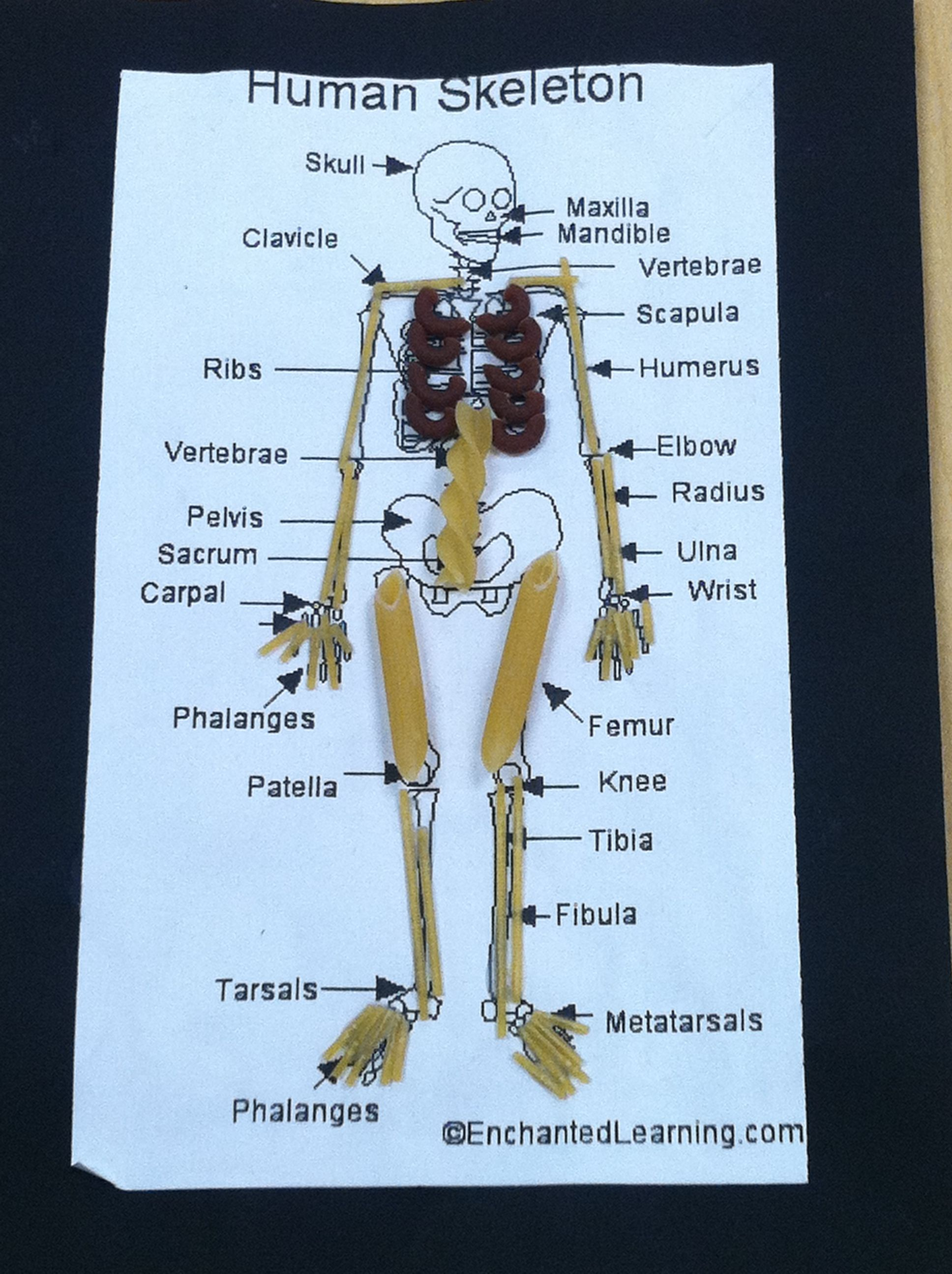 hight resolution of Pasta skeleton. I am so making these with Z today. :)   Health science  classroom