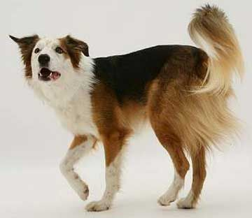 Bc Museum Saddle Patterned Border Collies Border Collie Collie Herding Dogs