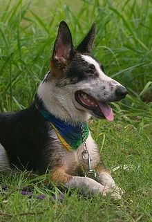 The Upper Half Of A Black White And Tan Panda Shepherd Dog That Is Laying In Grass Looking To The Right It Is Wearing A Shepherd Dog Breeds Shepherd Dog Dogs