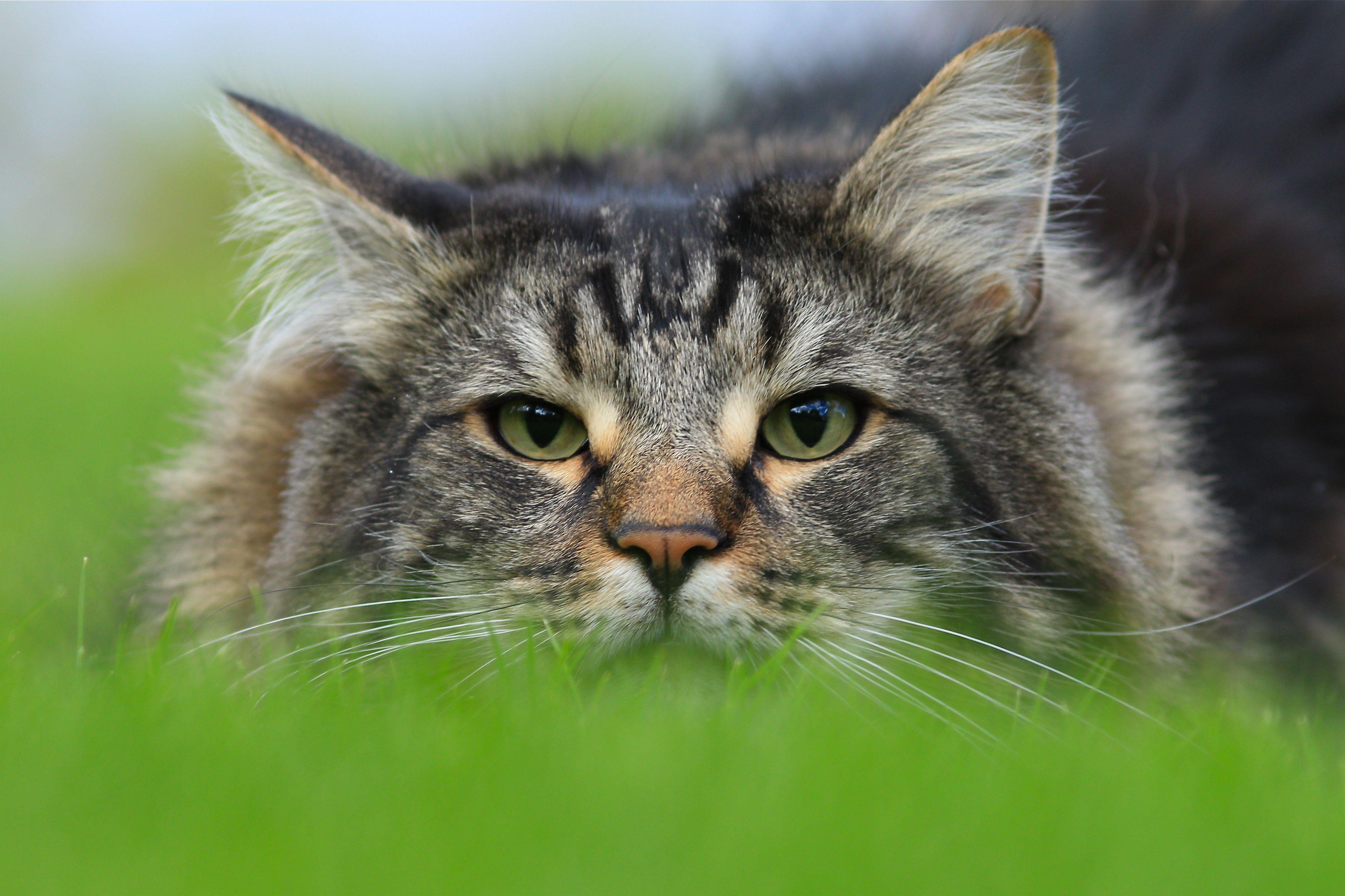 лесная скандинавская кошка фото базе крыше машины