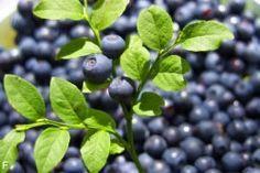 Heidelbeeren Blaubeeren Im Garten Pflanzen Zeitpunkt Anleitung