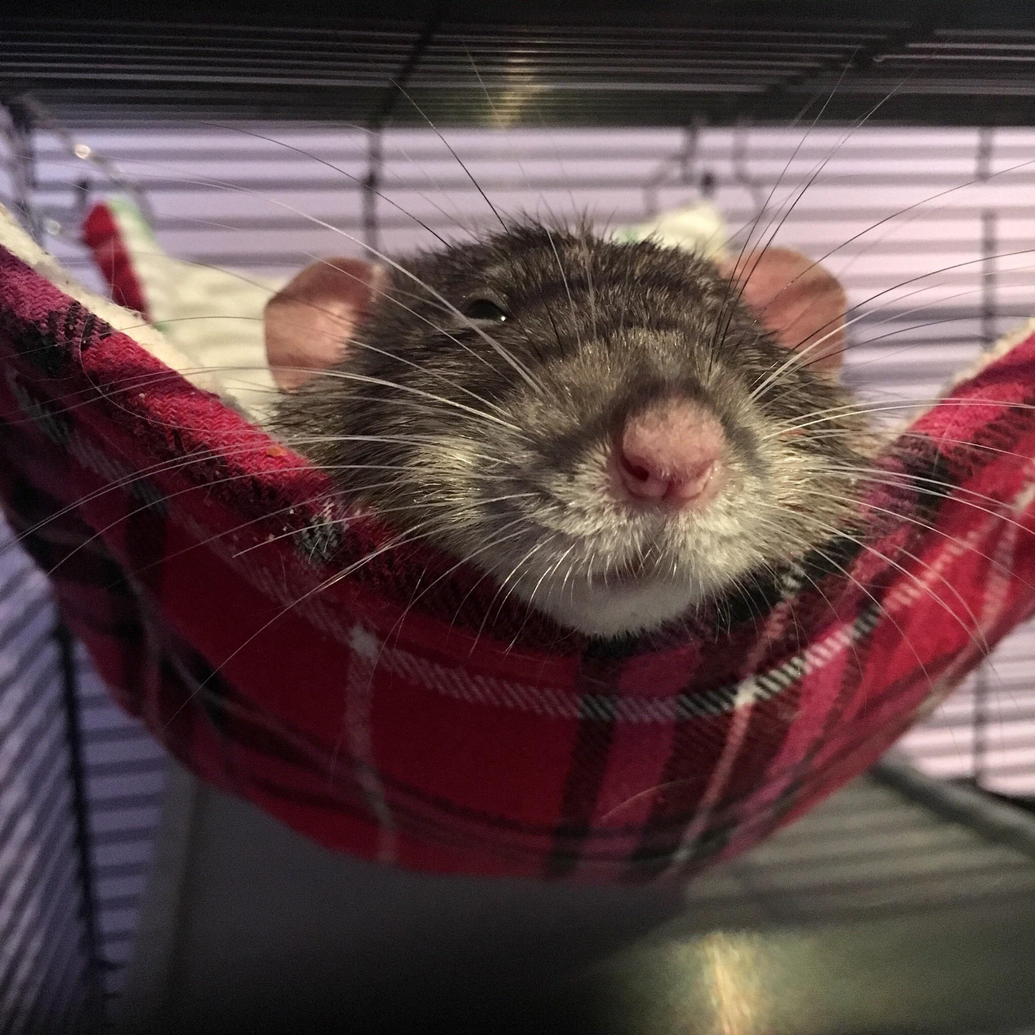 Unique Image De Rat à Imprimer
