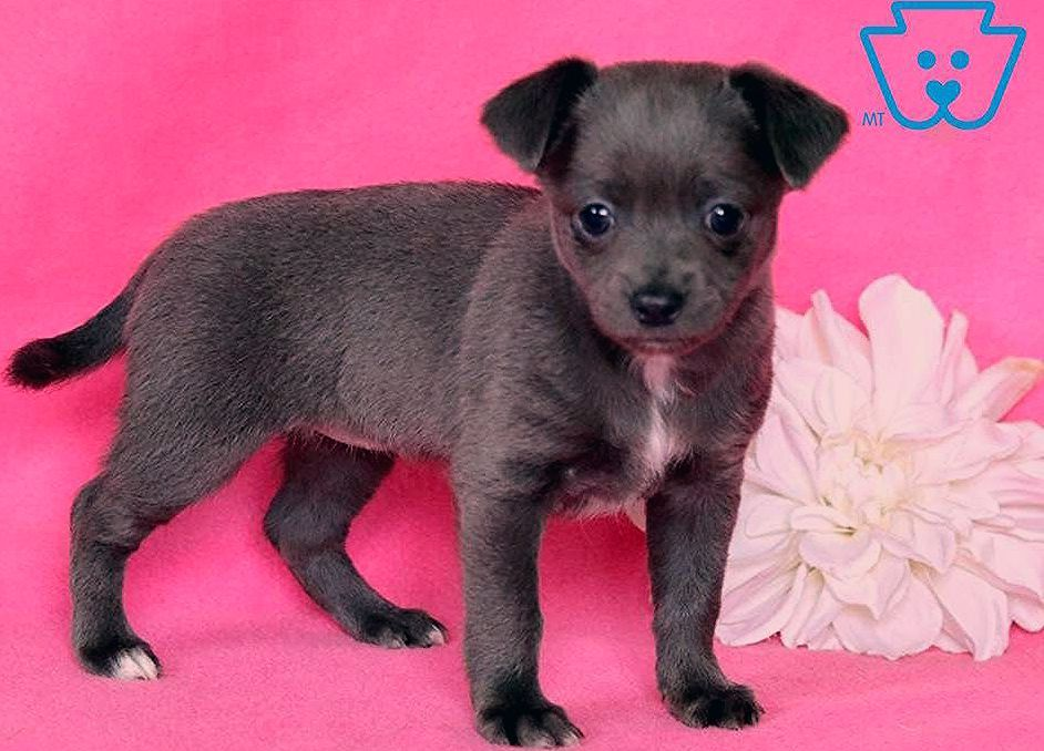 Blossom   Chihuahua Puppy For Sale   Keystone Puppies