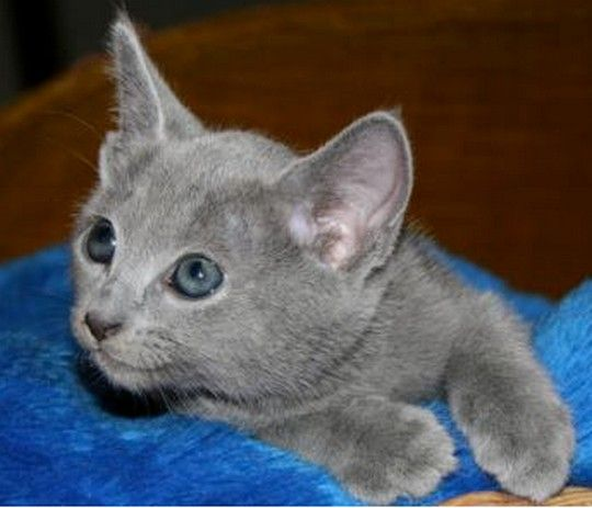 A Cute Kitten With Blue Eyes Kittentoob Russian Blue Kitten Burmese Kittens Russian Blue