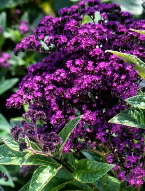 50 purple flowers plants with names and pictures for your best 50 purple flowers plants with names and pictures for your best garden heliotrope dark purple flowers purple flowers awesome beautifull gardening mightylinksfo