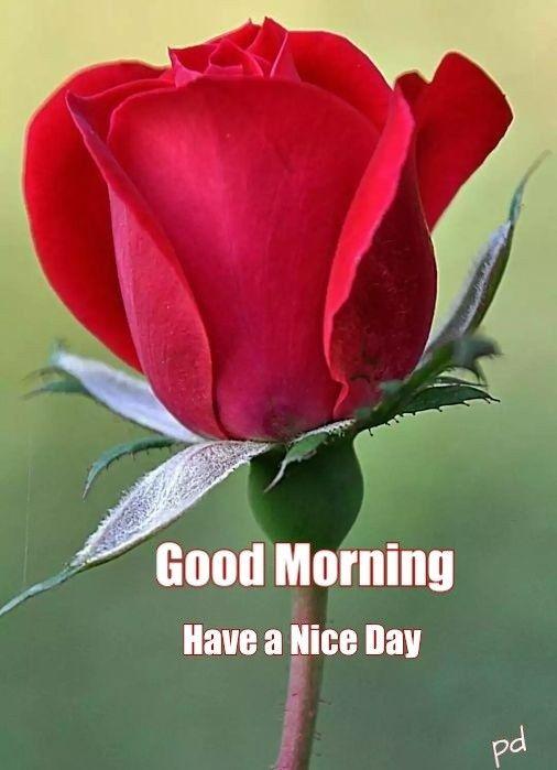 Good Morning Greetings Good Morning Roses Good Morning Flowers Morning Rose
