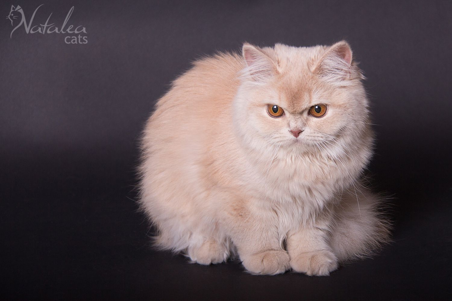 British Longhair Fawn Smoke Chatterie & élevage