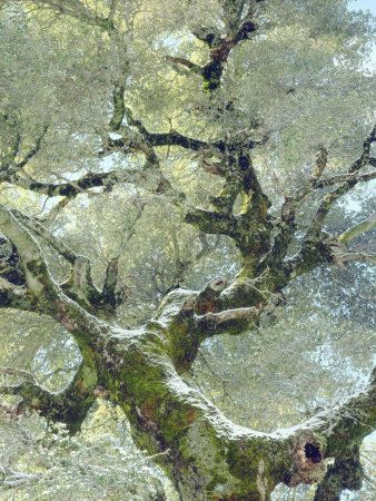 Snow and moss on live oak print