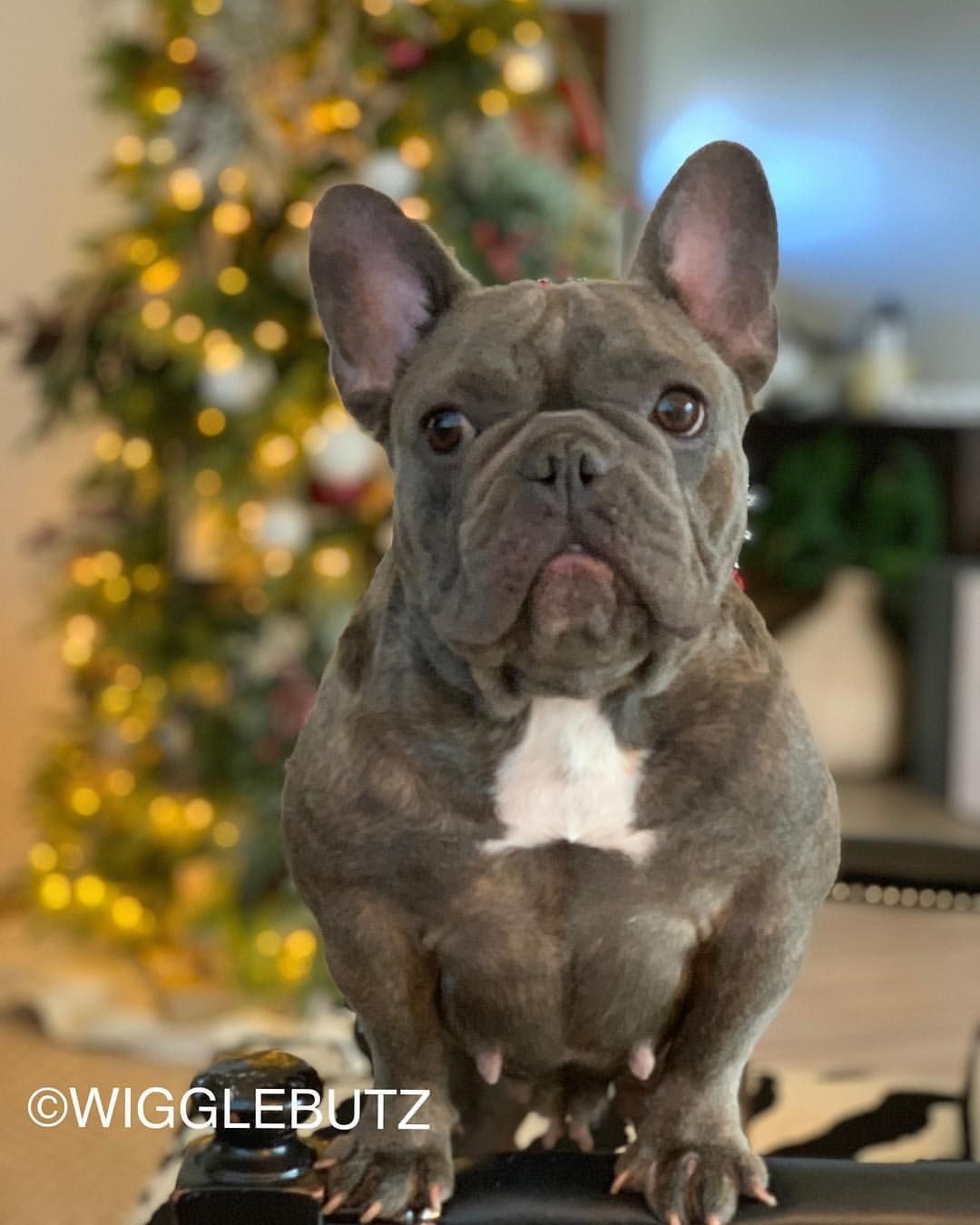 Luxe - Blue Muscular French Bulldog Female Mom @ WiggleButz