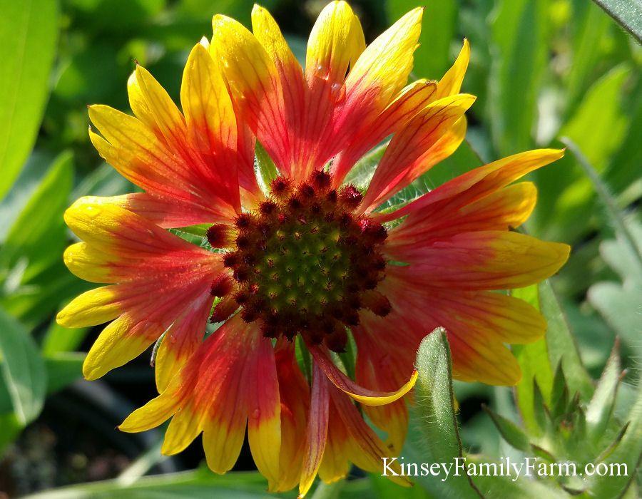 Goblin Gaillardia Blanket Flower sun loving perennial
