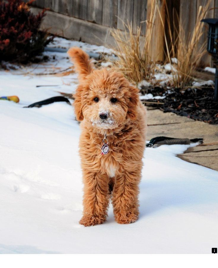 Our web images are a must see!! Goldendoodle puppy, Cute