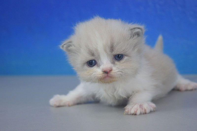 Blue Bicolor Mink Ragamuffin Kitten Bengal Cat Ragamuffin Cat