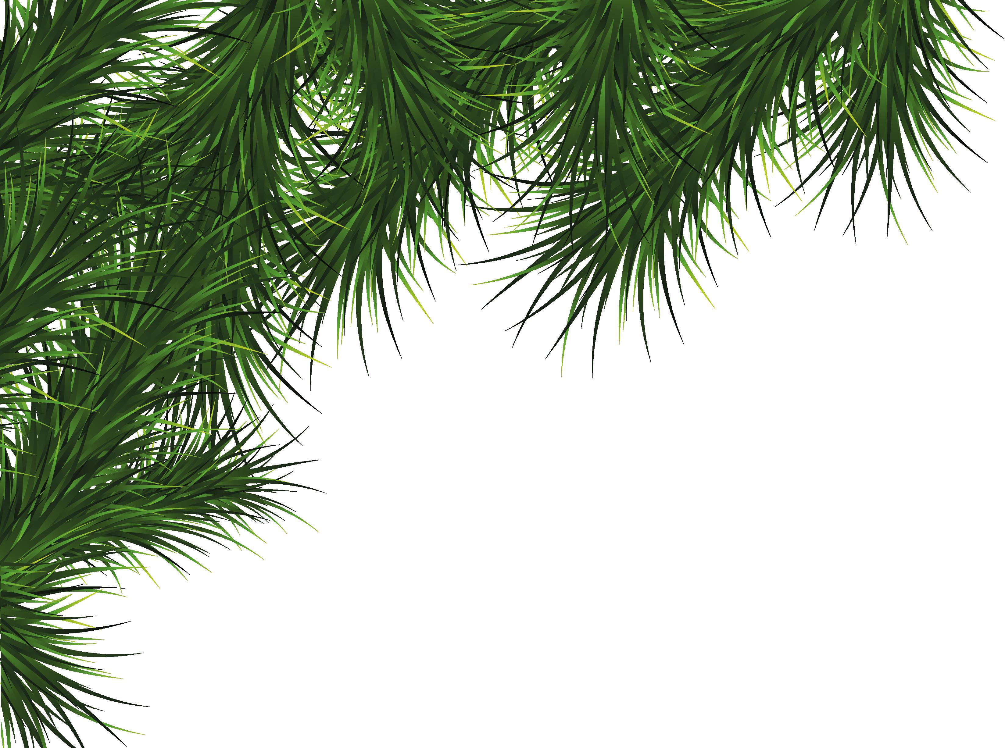 Fir Tree Png Image Fir Tree Tree Plant Leaves