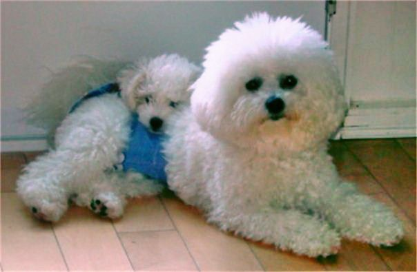 Summer Knight Kennels Litter Trained Able To Be Akc Reg Bichon