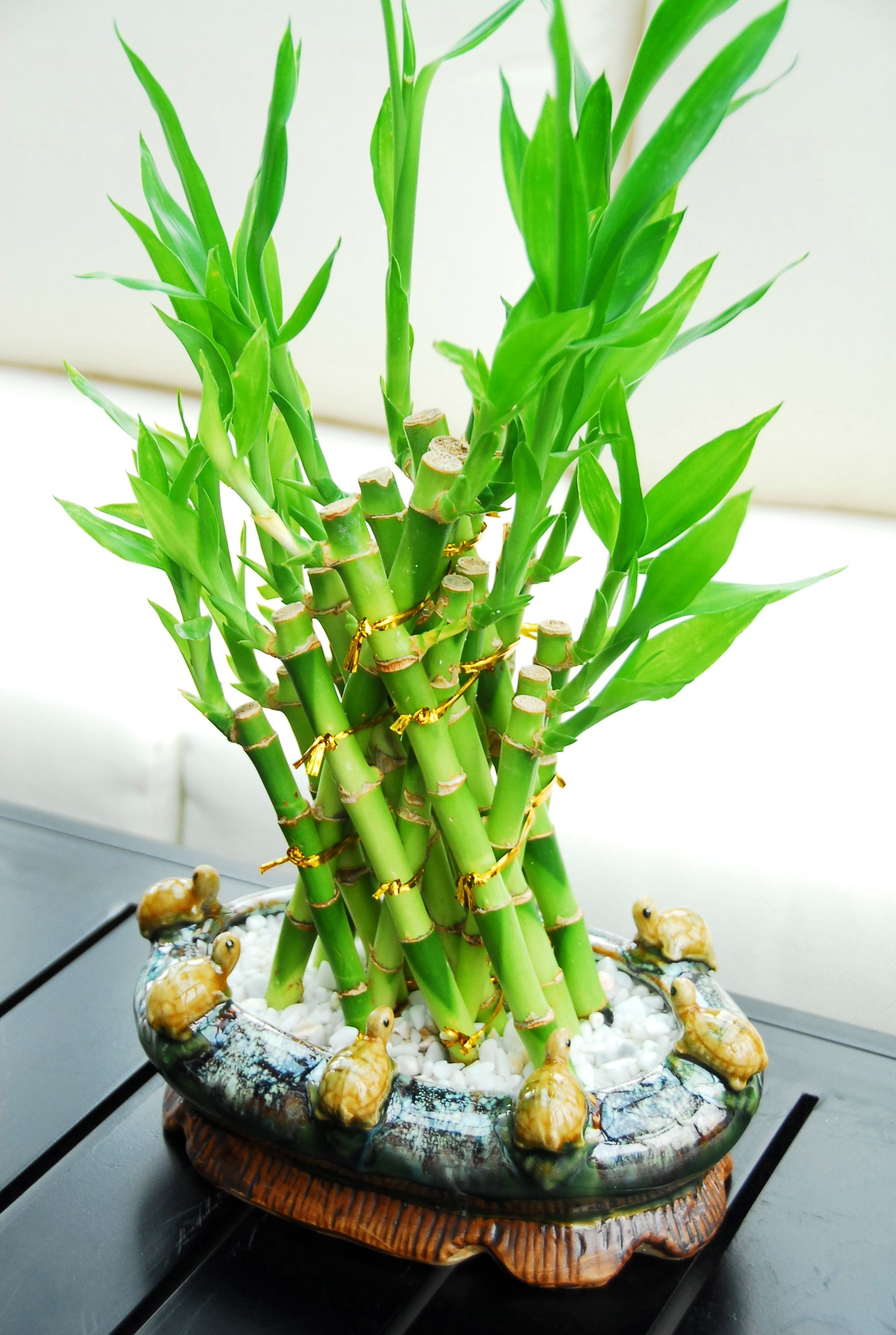 What do the colors of ribbon symbolize on lucky bamboo ehow - Pyramid Lucky Bamboo 39 99 This Beautiful Pyramid Lucky Bamboo Arrangement Is Featured In A