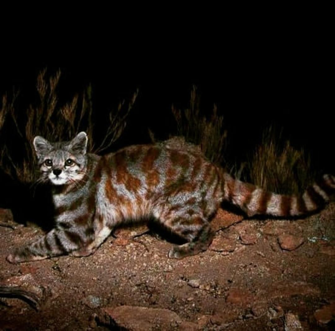 Andean mountain cat. Currently they are endangered with