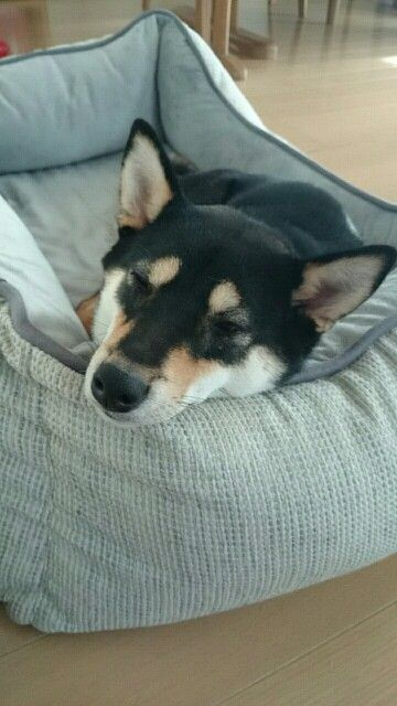 コストコのソファ 柴犬 いぬ 犬