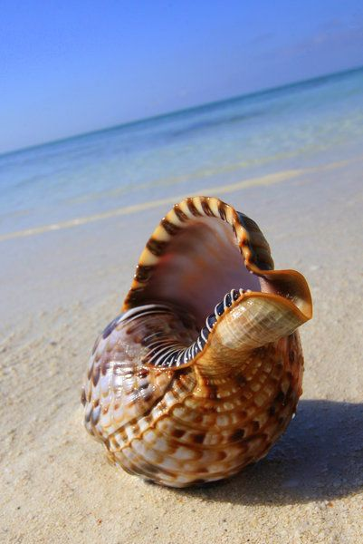Shell on Bahamian beach........