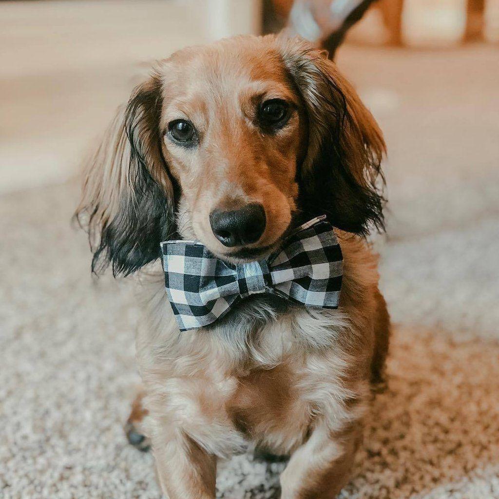 William Collar Dog Bowtie Dogs Puppies